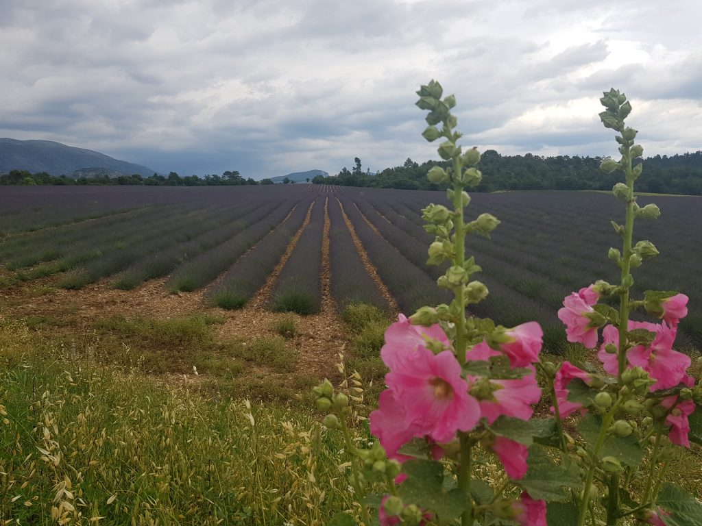 French Riviera things to do Catch the smell of lavenda fields in Valensole France