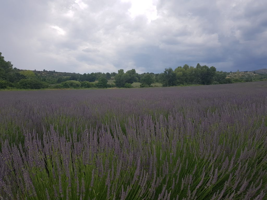 French Riviera things to do Catch the smell of lavenda fields in Valensole.